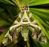 Oleander_Hawk-moth_Daphnis_nerii
